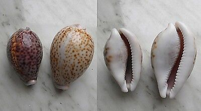 seashell  cypraea  pantherina + albonitens f. set 2