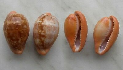 seashell  cypraea  pyrum set 2