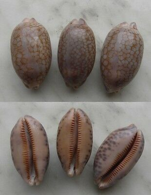 seashell  cypraea  scurra occidua set 3