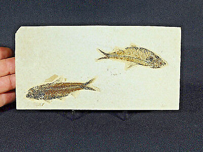 TWO! Perfect 50 Million Year Old Fossil Fish! Found in Wyoming 522gr e