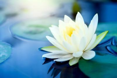 Tropical Water Lily,White Blooming- 10 Viable Seeds