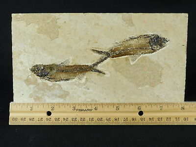 TWO! Perfect 50 Million Year Old Fossil Fish! Found in Wyoming 878gr e