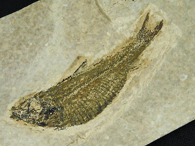 A 50 Million Year Old Knightia Fish Fossil From Wyoming 252gr