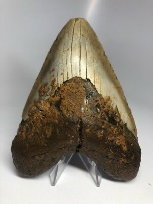 "Amazing 5.58"" Huge Megalodon Fossil Shark Tooth Rare 1891"