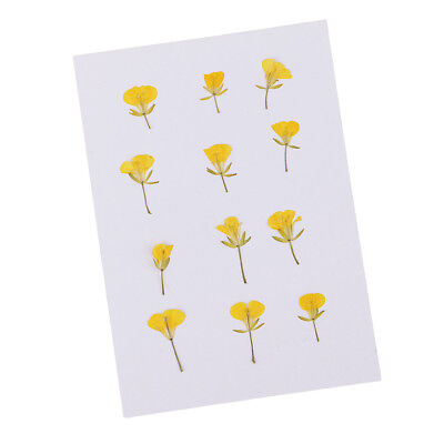 12 Pieces Pressed Flowers Dried Real Rape Flowers DIY Card Making Art Crafts