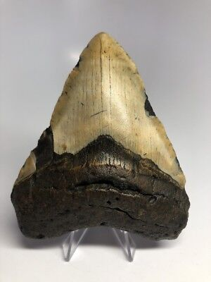 "Amazing Color 4.87"" Real Megalodon Fossil Shark Tooth Teeth Rare Natural 1475"