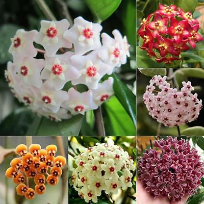 100pcs Mix Hoya Carnosa Seeds Potted Ball Orchid Flower Plant Seed Home Garden