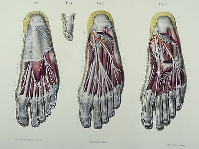 1853 Hirschfeld ANATOMY FEET handcolor MASTERPIECE MEDICAL ILLUSTRATION