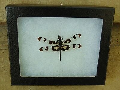 E363) Real Banded Pennant Dragonfly 4X5 frame display butterfly insect taxidermy