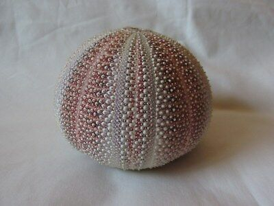 Natural Sea Urchin Shell - Large - 12cm / 4.75""