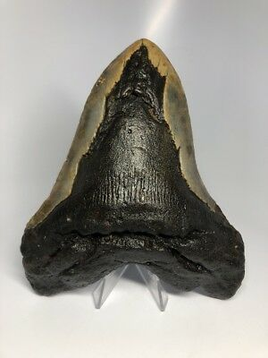 "Monster 6.22"" Big Megalodon Fossil Shark Tooth Rare 5"" Wide 1964"
