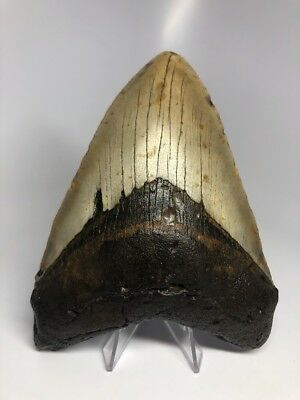 "Big 5.77"" Amazing Megalodon Fossil Shark Tooth Rare 1942"