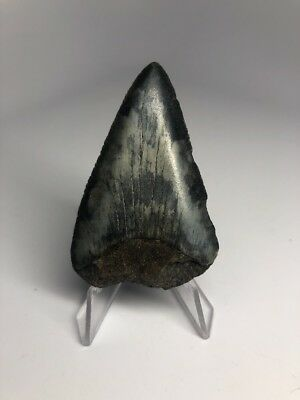 """Colorful 2.53"""" Great White Fossil Shark Tooth Rare 1814"""