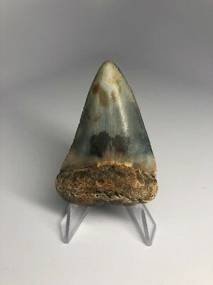 """Unique 2.33"""" Great White Fossil Shark Tooth Rare Colorful 1821"""