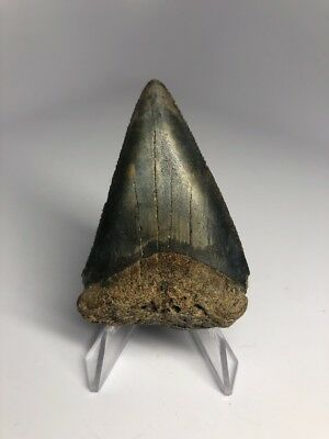 """Amazing 2.57"""" Great White Fossil Shark Tooth Rare Natural 1809"""