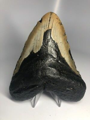 "Nice 5.19"" Big Megalodon Fossil Shark Tooth Rare Natural 1659"
