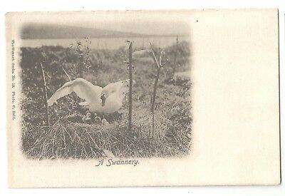 wa animals birds postcard bird animal swan nest