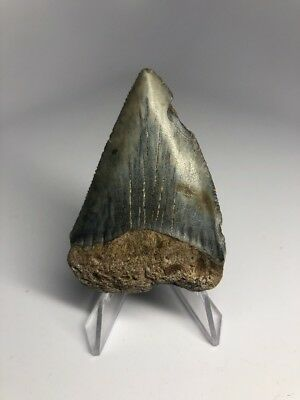 """Nice 2.48"""" Great White Fossil Shark Tooth Rare Natural 1815"""