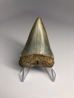 "Amazing 2.15"" Great White Fossil Shark Tooth Rare Beautiful 1816"