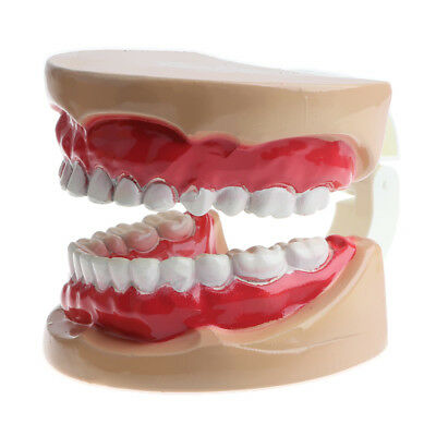 2 Times Human Children Mouth Dental Teeth Model Mouth Caring Model