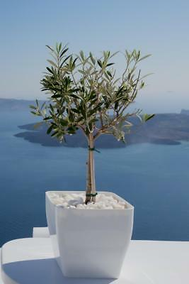 Olive Tree 5 Seeds - Great for Bonsai, Patio or full size tree. Grow your olives