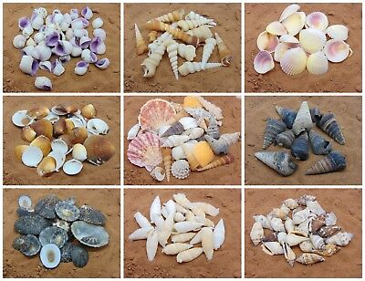 Natural Beach Shells - Home Decor  Seashells Wedding Display Craft Aquarium Sea