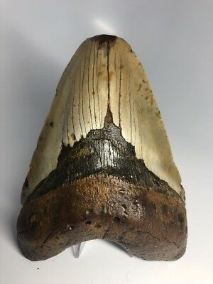 """Massive 6.06"""" Real Megalodon Fossil Shark Tooth Rare 1684"""