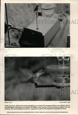 1987 Press Photo North America's oldest hummingbird seen in Colorado.
