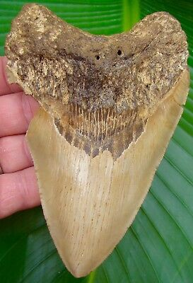 Megalodon Shark Tooth  5 & 9/16 in. SERRATED   REAL Fossil Sharks Teeth