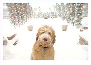 Bearded Collie in the Snow Christmas Cards - Box of 10 LAST ONE!