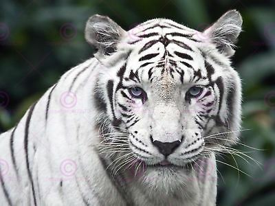 Nature Animal White Siberian Tiger Big Cat Cool Blue Eyes Canvas Art Print