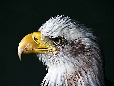 American Bald Eagle Bird Head Shot Feathers Raised Wall Picture 8x10 Art Print