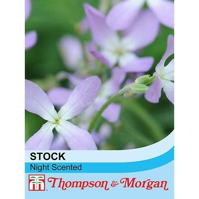 T&M Stocks Night Scented (approx. 1100 seeds)
