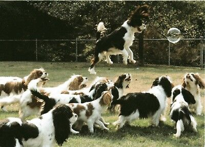I CAN FLY!  Cavalier King Charles Spaniel One blank Note Card
