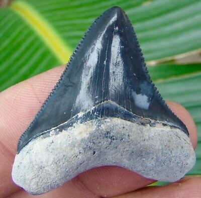 Megalodon Shark Tooth - BONE VALLEY - OVER 1 & 11/16 in. REAL FOSSIL TEETH