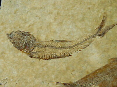 A School of FOUR! 100% Natural 50 Million Year Old Fossil Fish Wyoming 188gr e