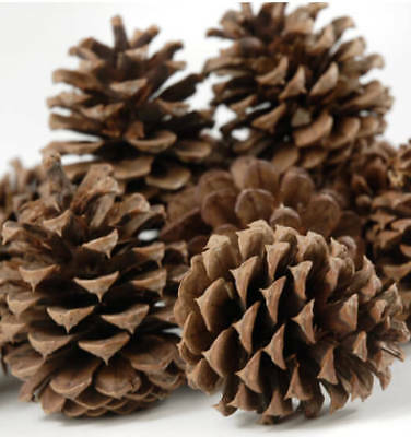 "5 Big Pine Cones For Crafts 3"" 5"" Natural Real Christmas Holiday Decorations"