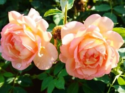 """Englische Austin Rose """"Lady of shalott""""® duftend 7 L Container"""