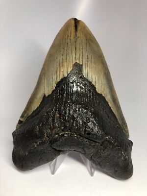 """Amazing 6.20"""" Huge Megalodon Fossil Shark Tooth Rare 2074"""