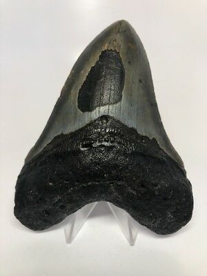 """Amazing 5.25"""" Big Megalodon Fossil Shark Tooth Rare 2211"""