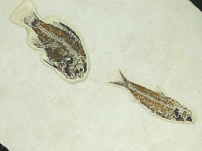 TWO! Species A 50 Millon Year Old Priscacara & Knightia Fish Fossil Wy 1985gr e