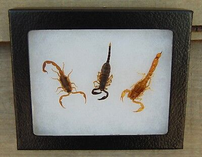 Real 3 SCORPION Collection 4X5 framed display taxidermy Hairy, Striped Bark, +