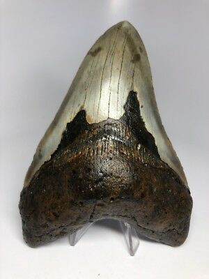 """Amazing 5.77"""" Huge Megalodon Fossil Shark Tooth Rare 1996"""