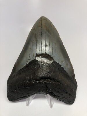 """Amazing 5.71"""" Big Megalodon Fossil Shark Tooth Rare 2265"""