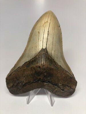 """Amazing 5.61"""" Big Megalodon Fossil Shark Tooth Rare 2126"""