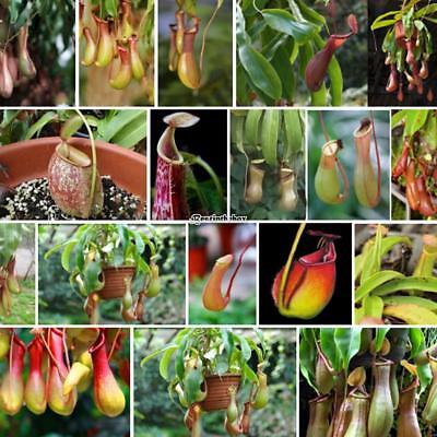 Flower Tropical Carnivorous Plants Fragrant Blooms Nepenthes Seeds B98B 01