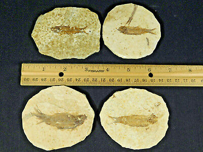Lot of FOUR! Small 50 Million Year Old 100% Natural Fossil Fish Wyoming 207gr