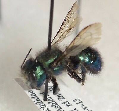 Hymenoptera Megachilidae Osmia species Oregon Bee Insect Megachile Entomology 2