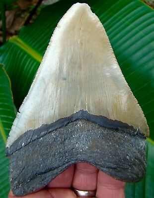 Megalodon Shark Tooth - 4 & 7/8 in.  SERRATED -  REAL FOSSILS - NO RESTORATIONS
