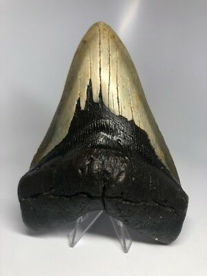 """Amazing 6.17"""" Huge Megalodon Fossil Shark Tooth Rare Real 1958"""